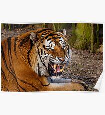 Siberian Tiger roar Poster