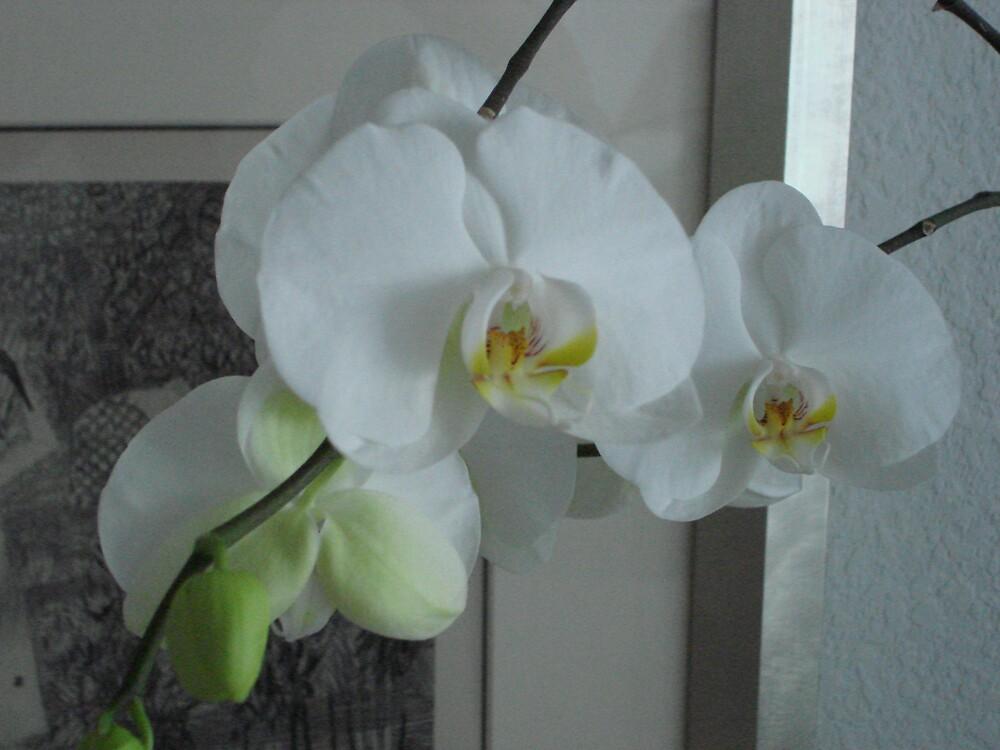 White Blossom by Dario  da Silva