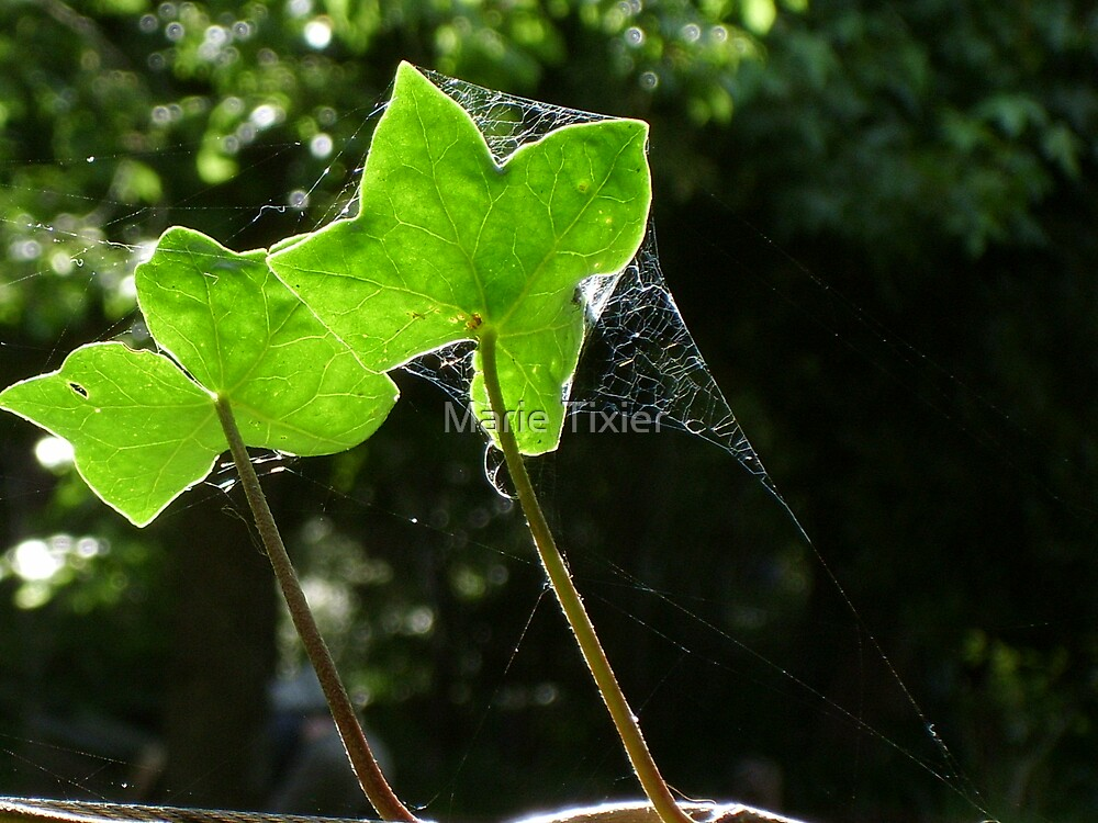 Ivy and sun by Marie Tixier