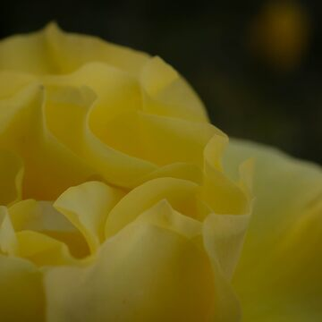 Soft Yellow Rose by sgrace