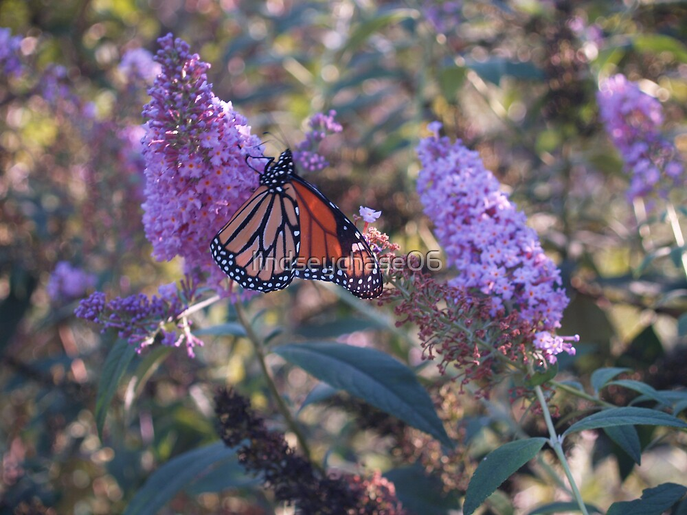 butterfly pollenating by lindseychase06