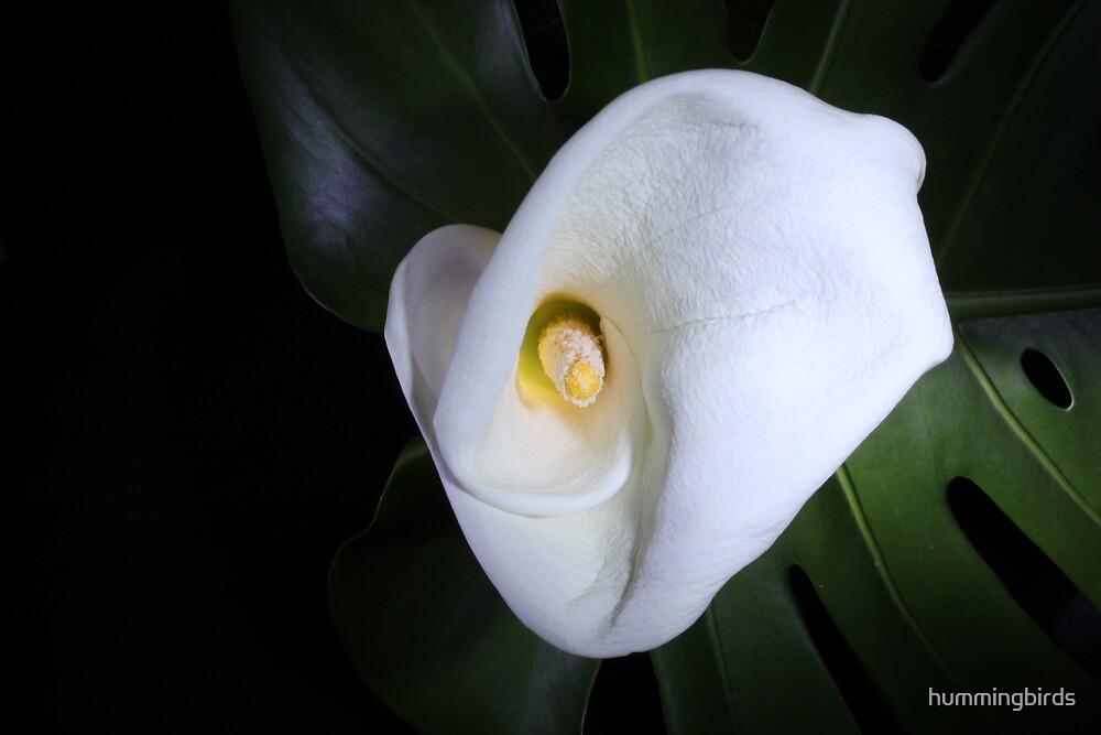 Pure White Calla Lily by hummingbirds