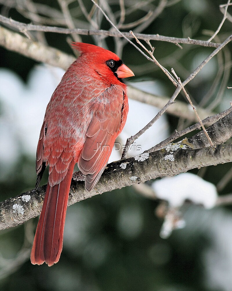 Male Cardinal by Jim Davis