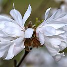 Double Magnolia Stellata..... by Poete100