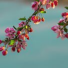 Cherry Blossoms by Linda Storm