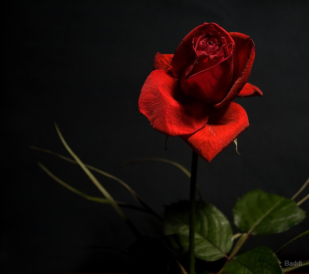 Rose of my heart by Baddi