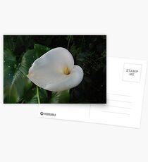 Weiße Cala Lilie Postkarten