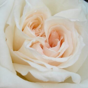 Close Up View Of A Romantic White Wedding Rose by taiche