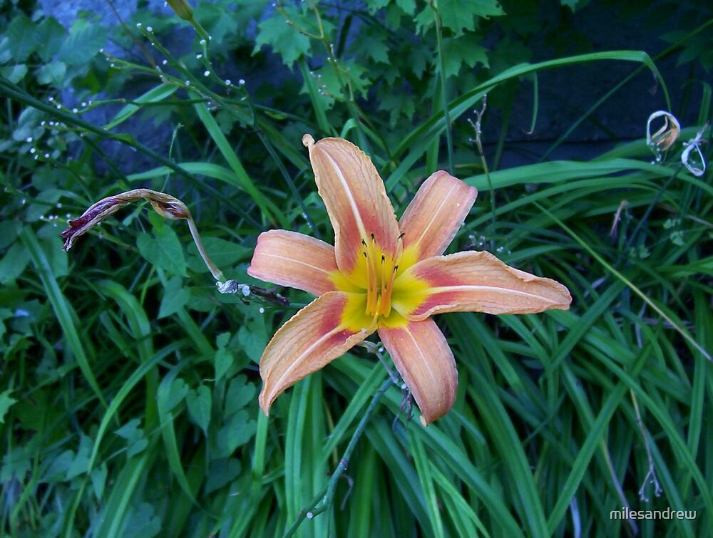 desktop flower by milesandrew