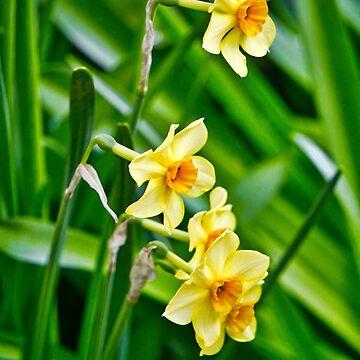Daffodils by newbeltane