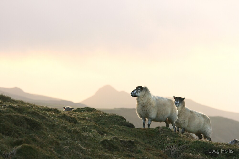2 Sheep + 1 Peeking Over by Lucy Hollis