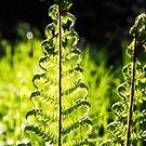 Woodland Ferns by Susie Peek