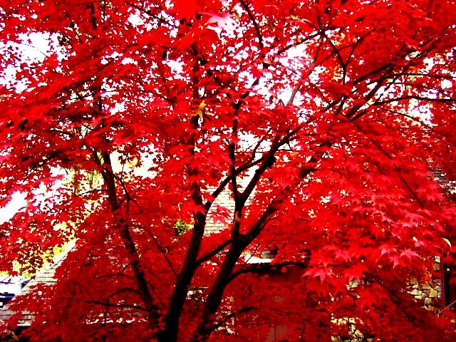 Japanese Maple by Julia Mayer