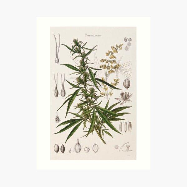 Cannabis Sativa - french botanical entry  Art Print