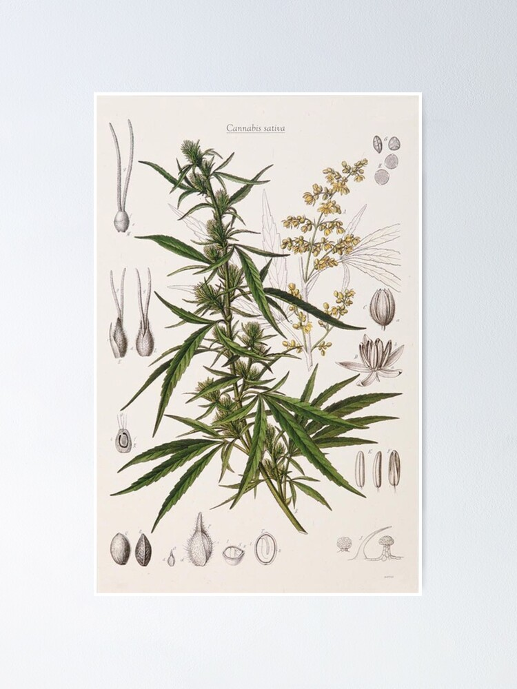 Alternate view of Cannabis Sativa - french botanical entry  Poster
