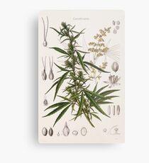 Cannabis Sativa - french botanical entry  Metal Print