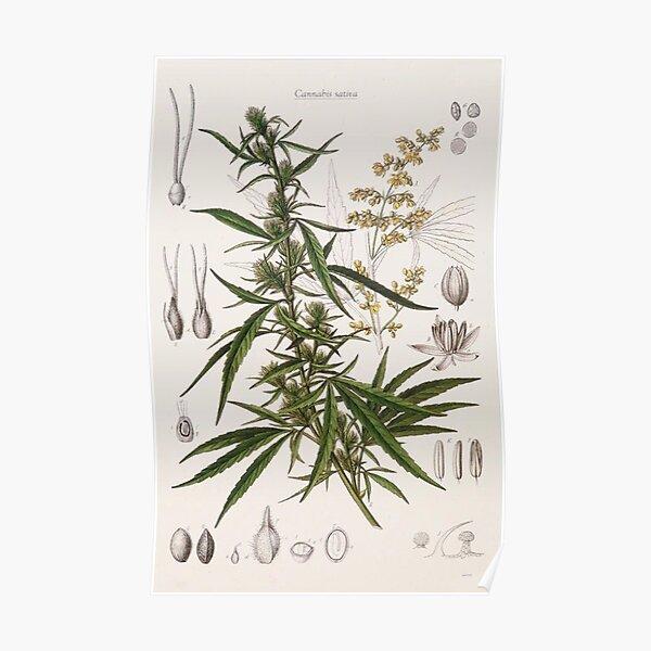 Cannabis Sativa - entrée botanique française Poster