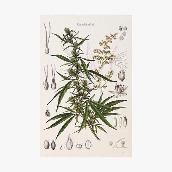 Cannabis Sativa - french botanical entry  Photographic Print