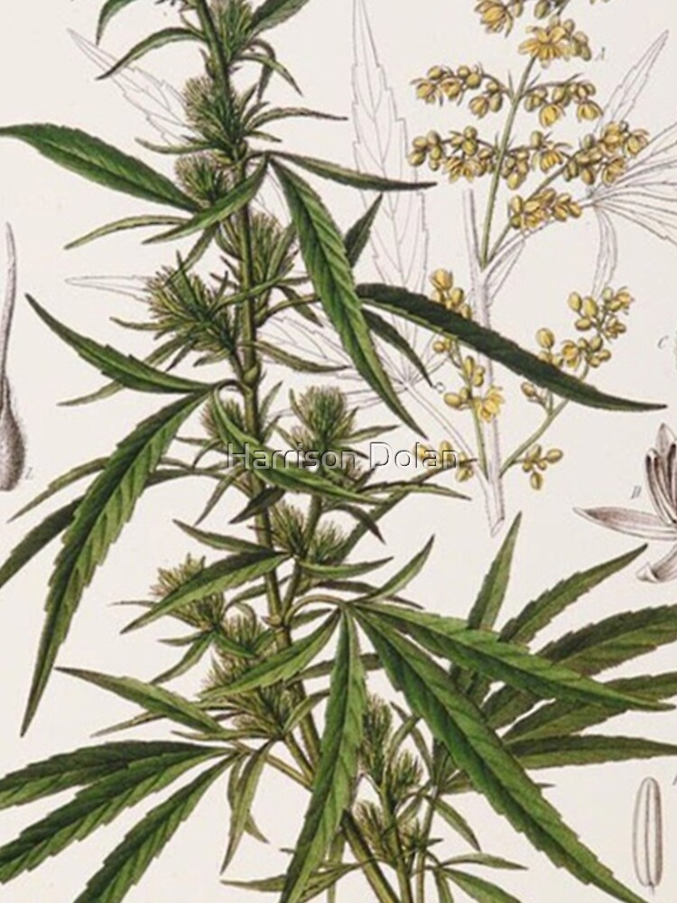 Cannabis Sativa - french botanical entry  by Speightsmate