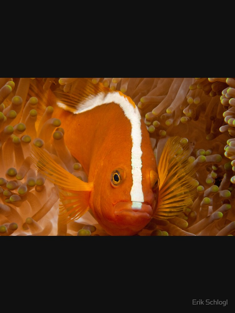 Orange Anemonefish, North Sulawesi, Indonesia by eschlogl
