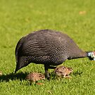 Guineafowl, South Africa by Erik Schlogl