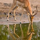 Impala reflection by Erik Schlogl