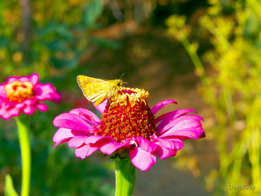 Yellow butterfly, Flower, zoom by DavidGlez