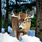 Photo session of a WhiteTail - Natural Background by Poete100