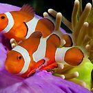Two False Clown Anemonefish, Kapalai, Sabah, Malaysia by Erik Schlogl
