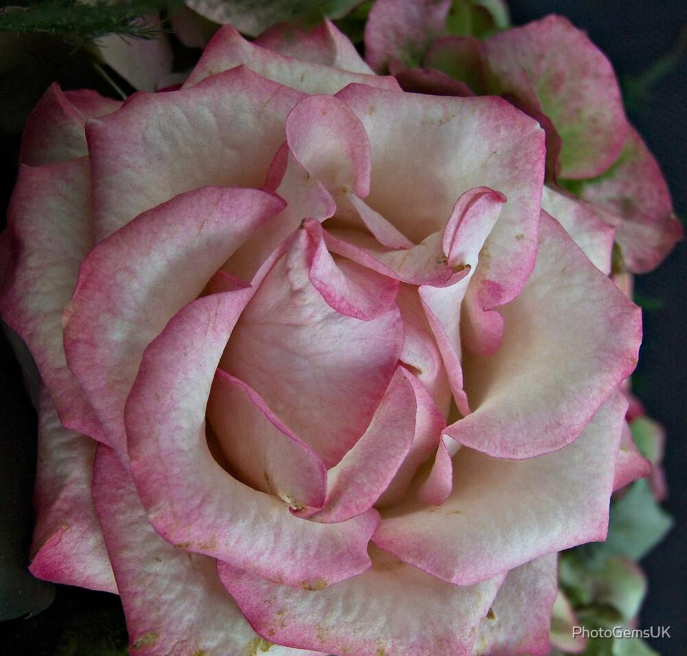 Antique Rose by PhotoGemsUK