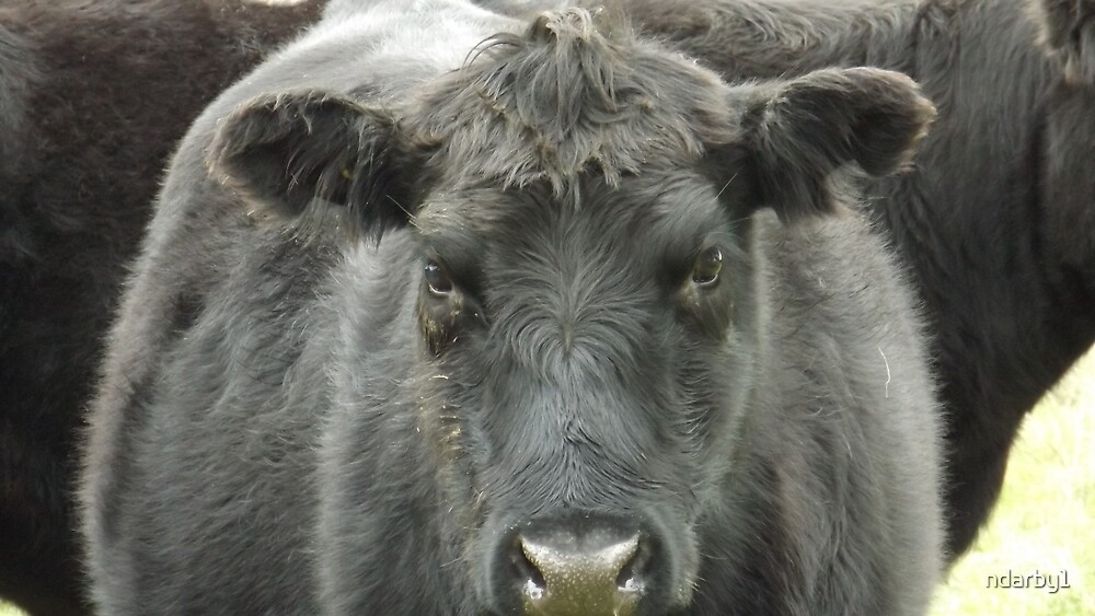 Angus cow by ndarby1