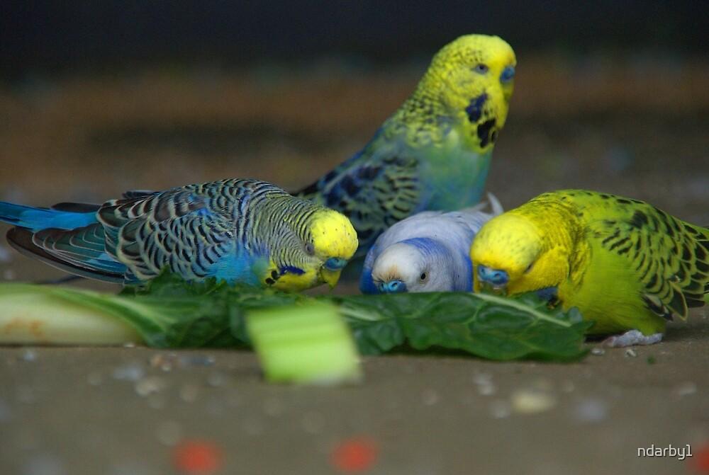 Feeding budgies by ndarby1