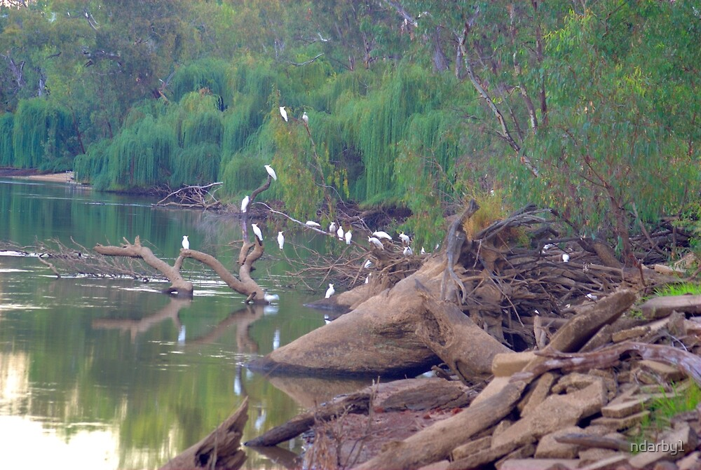 Cockies on the Murray by ndarby1