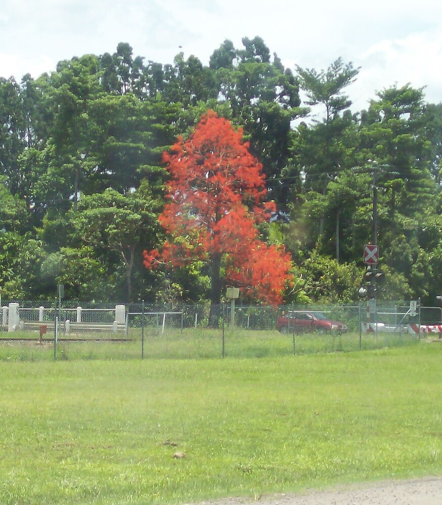 flame tree by footyman