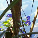 Morning glories by footyman