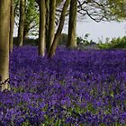 Bluebells In Oxfordshire by lezvee