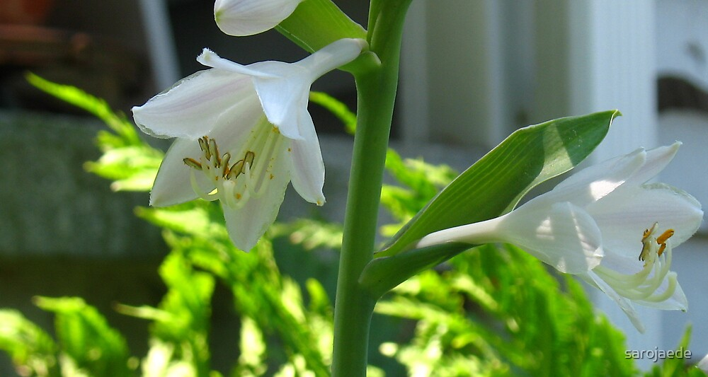 Hosta Bloom by sarojaede