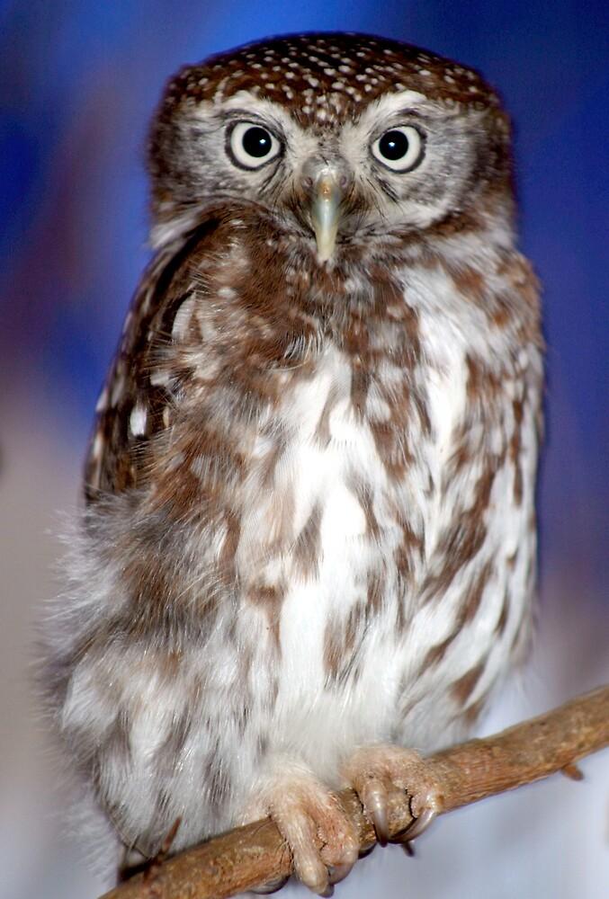 Owl by Beaner