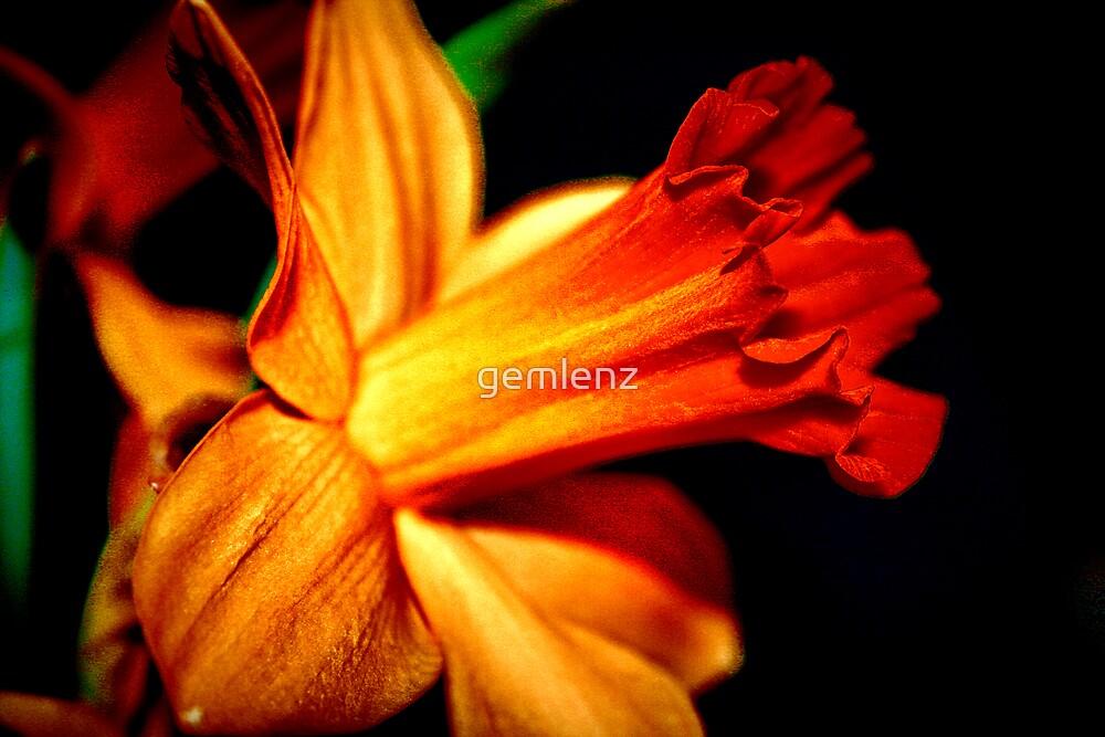 Daffodill Bloom by gemlenz