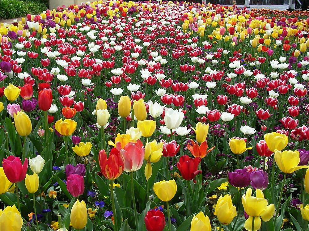 Tulips Galore by Bouzov