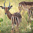Impala grazing in the early evening. by Sharon Bishop