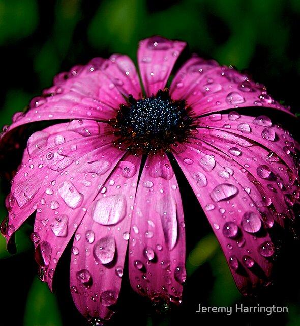 Purple Rain by Jeremy Harrington