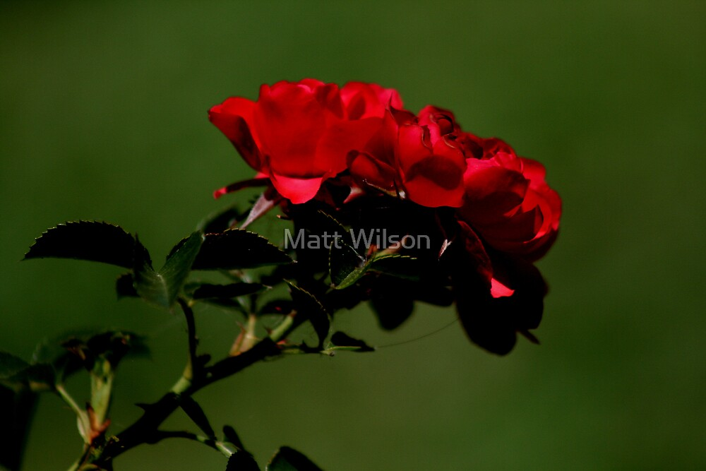 Rose by Matt Wilson