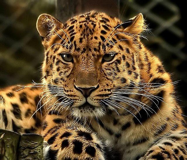 Leopard by Hanae