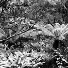 Snowy Tree Ferns.....Cradle Mountain National Park by Imi Koetz