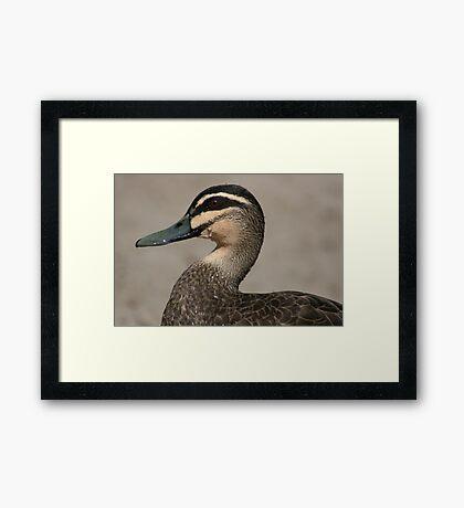 It was a good swim - Pacific Black Duck Framed Print