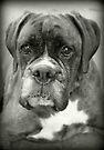 Ist das für mich? .... Boxer Dogs Series von Evita