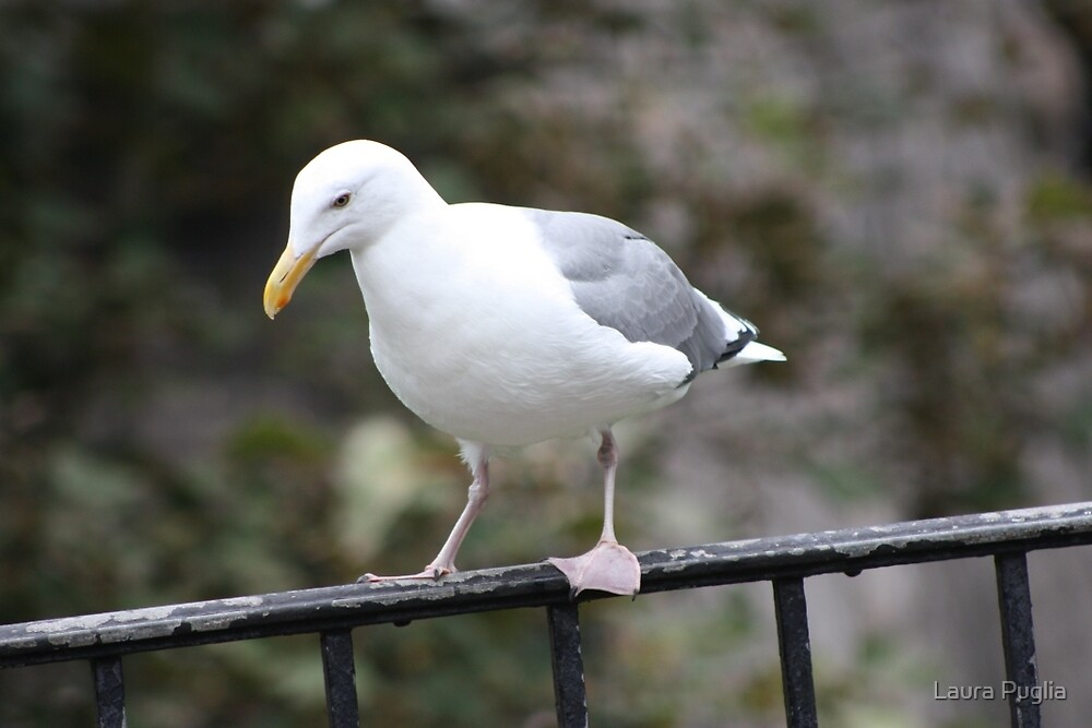 California Gull by Laura Puglia