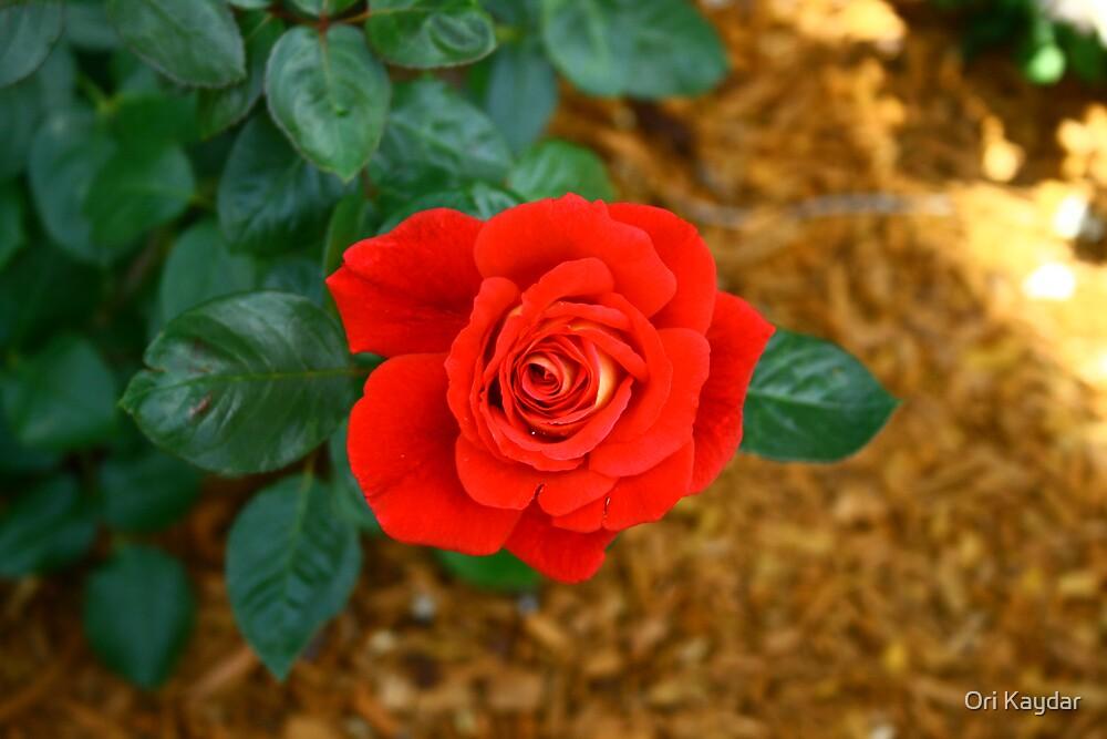 Red Rose by Ori Kaydar