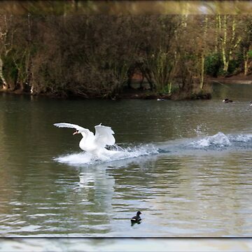 swan  by cynthiab